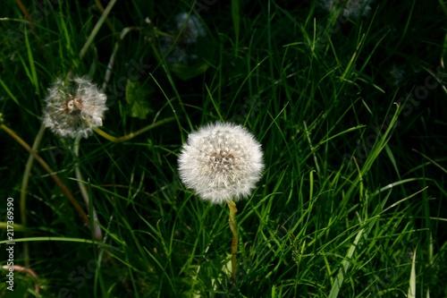 Dmuchawiec w trawie. - 217369590