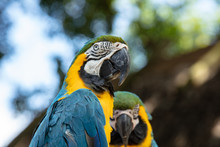Vibrant Blue And Gold Macaw Poses For A Head Shot