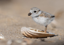 Piping Plover Chick In A Seashell