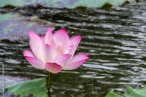 Foto op Canvas Lotusbloem Lotus Flower and green leaf with dark background - Multi-Exposures