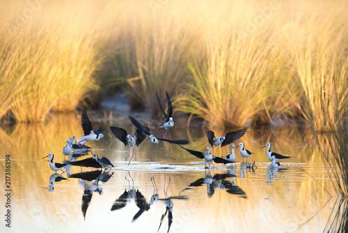 Fotografia, Obraz  black winged stilts,  Karumba, Queensland, Australia