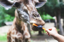 Giraffe Eating Carrot From Tou...