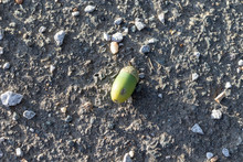 Single Green Acorn Lying On A Concrete Ground