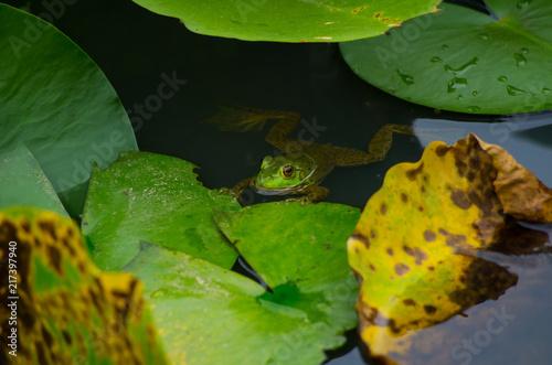 Tuinposter Kikker 睡蓮の葉に掴まっているカエル