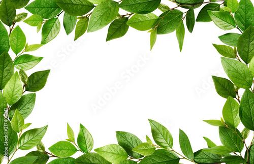 Fototapeta Twigs with fresh green leaves in a frame obraz na płótnie