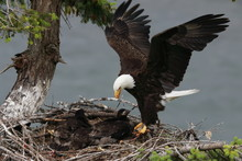 Adult Bald Eagle With Two Chic...