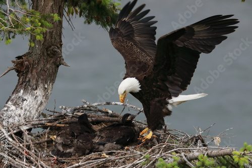 Photo Adult Bald Eagle with two chicks in a nest in a tree on the side of a cliff Vanc
