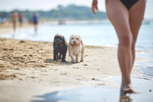 Black And White Havanese Dog Walking On The Beach At The Sea