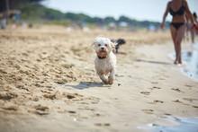 White Havanese Dog Running On The Beach