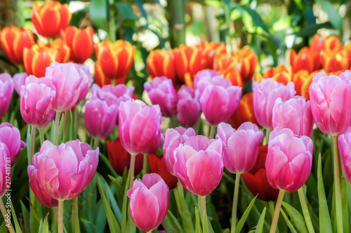 Photo Stands Candy pink Tulip flowers in the meadow , flowers in the nature garden