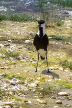 Spur Winged Plover Standing