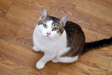 White Tabby Cat With Green Eyes Is Sitting On A Floor And Looking Into The Camera, Top View.