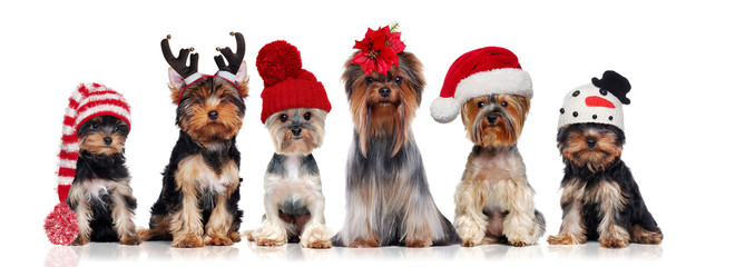 Fototapeta Pies Yorkshire terriers wearing different christmas hats
