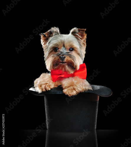 Yorkshire terrier sitting in a magic cylinder in a black studio