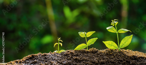 Cuadros en Lienzo The seedling are growing from the rich soil to the morning sunlight that is shining, ecology concept