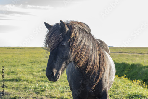Photo  Lonely horse in Iceland