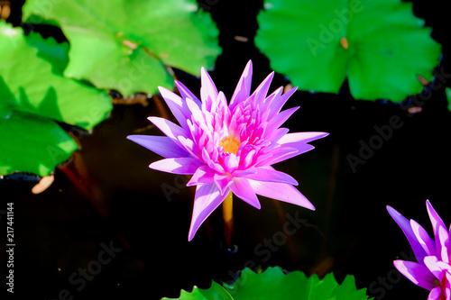 Foto op Canvas Lotusbloem purple water lilly