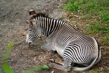 Grevy's Zebra Equus Grevyi Aslo Know As The Imperial Zebra