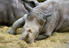 White Rhinoceros Close Up View Of The Head And Two Horns