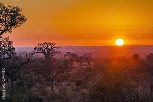 Fototapeta Baobab tree in sunrise landscape in Kruger National park, South Africa ; Specie