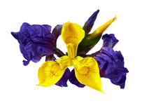 Composition Of Yellow And Lilac Iris Flowers And Buds Isolated On White Background. Overhead, Top View.