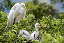 White Heron Watches Over Her Chicks In The Nest.