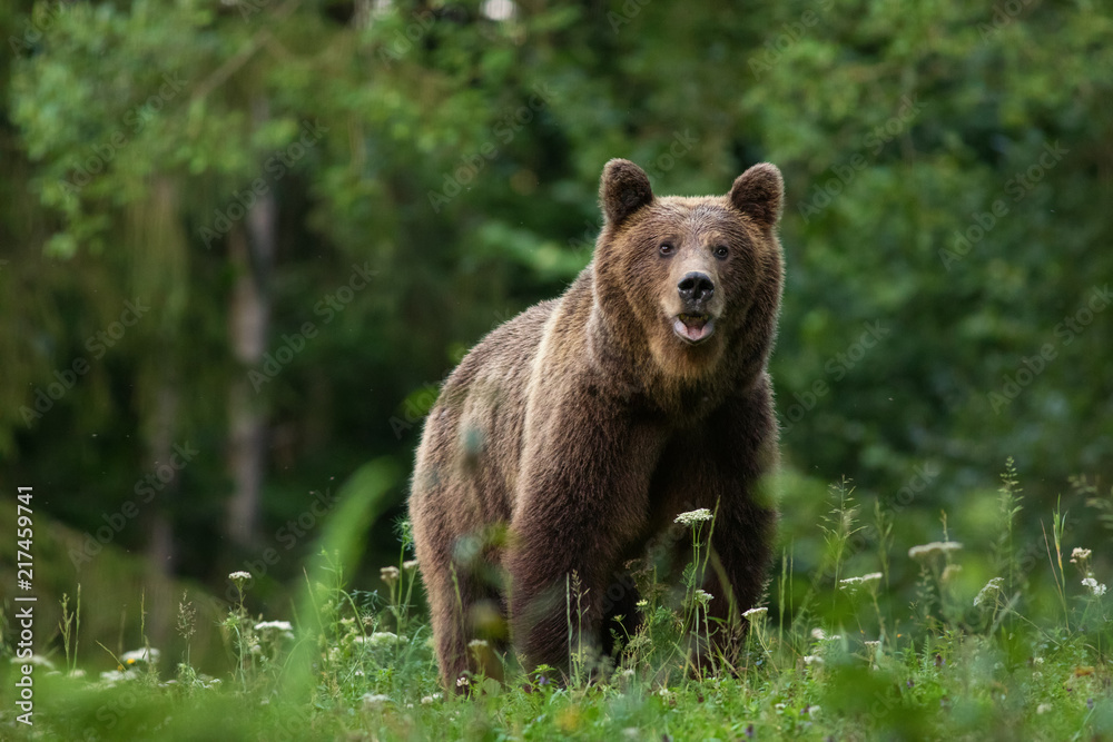 Fototapety, obrazy: Large Carpathian brown bear portrait in the woods Europe Romania.