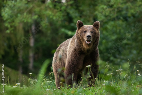 Canvas Large Carpathian brown bear portrait in the woods Europe Romania.