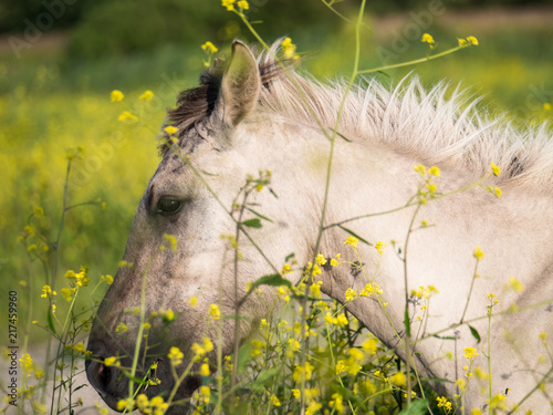 Spoed Foto op Canvas Natuur Konik horses and mostard seed in nature reserve
