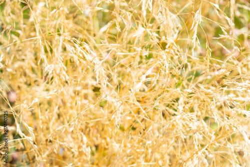 Staande foto Meloen Yellow ears of cereals.
