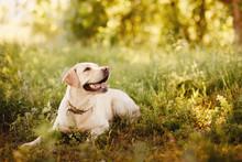 Dog Labrador Retriever Playing...