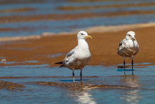 Seagulls Walking Across The Be...