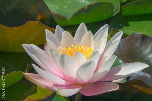 Photo Stands Water lilies Pink water lilies