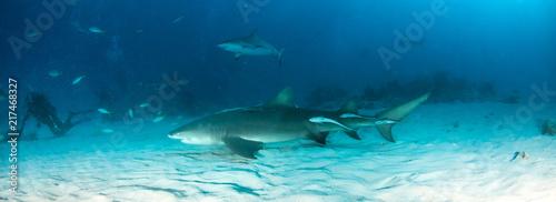 Keuken foto achterwand Turkoois Lemon shark at the Bahamas