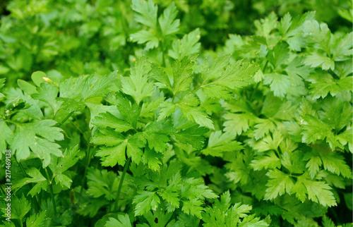 Many fresh Petersilie,parsley or Glatte Petersilie  on field.  growing glatt petersilie in the garden