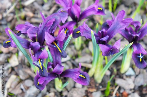Spoed Foto op Canvas Iris Iris reticulata purple flowers