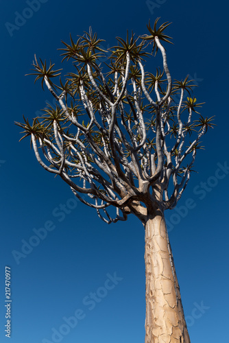 Láminas  Quiver tree crown with glowing bark against clear blue sky
