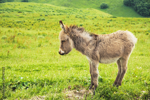 Fotografía  Portrait of a beautiful fluffy ass, Equus asinus, in the middle of a green meadow