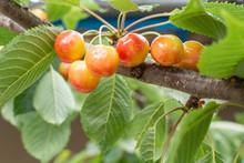 Cherries Of A Sweet Cherry On A Branch