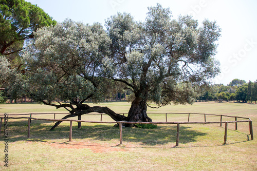 Brijuni, Croatia - July 28, 2018: View of the 1600 year old olive tree of the island Brijuni, Croatia Fototapet
