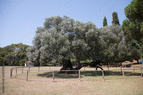 Fotografie, Obraz  Brijuni, Croatia - July 28, 2018: View of the 1600 year old olive tree of the island Brijuni, Croatia
