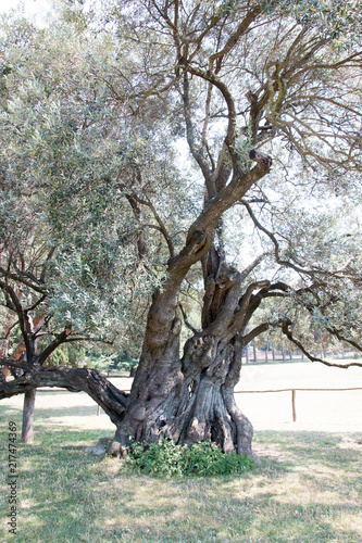 Brijuni, Croatia - July 28, 2018: View of the 1600 year old olive tree of the island Brijuni, Croatia Tablou Canvas
