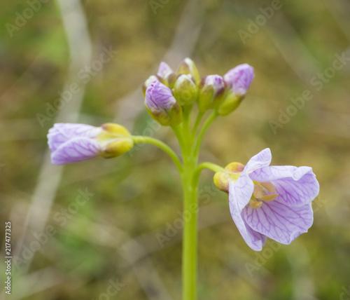 Spoed Foto op Canvas Iris Close up macro blooming pink lilac Cardamine pratensis (cuckooflower, lady's smock, mayflower, or milkmaids) flower on green bokeh background, bright colors