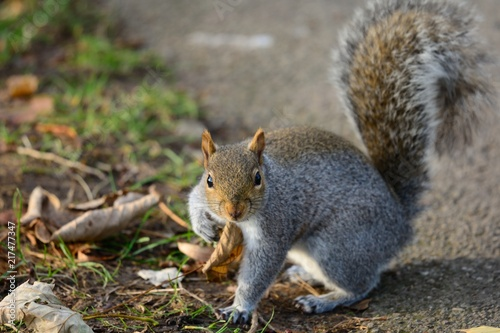 Foto op Canvas Eekhoorn Gray squirrel looking at the camera