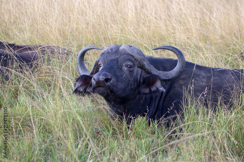 Deurstickers Buffel Cape Buffalo in Grass