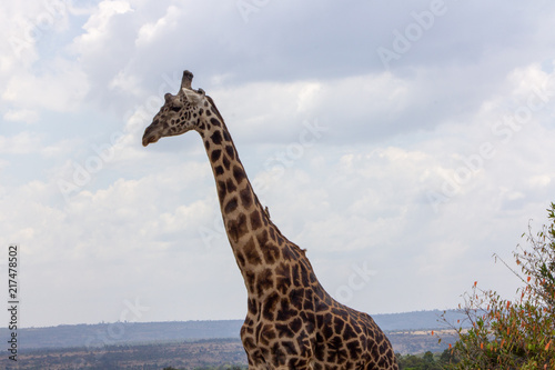 Photo  Giraffe Profile