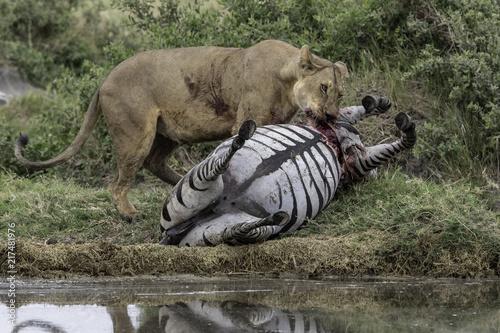 Fototapeten Natur Lion kills zebra in Tanzania Serengeti