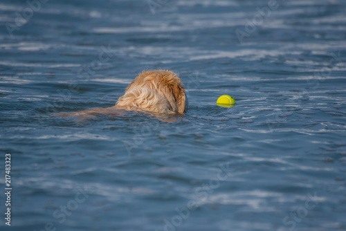 Experienced Golden Retriever swims out into ocean water to fetch floating tennis ball Fototapet
