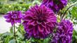 Dahlia Lavender Perfection closeup 1.