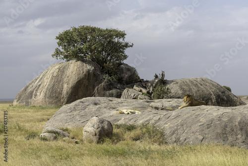 Fototapeten Natur Lions mating in Serengeti in Tanzania